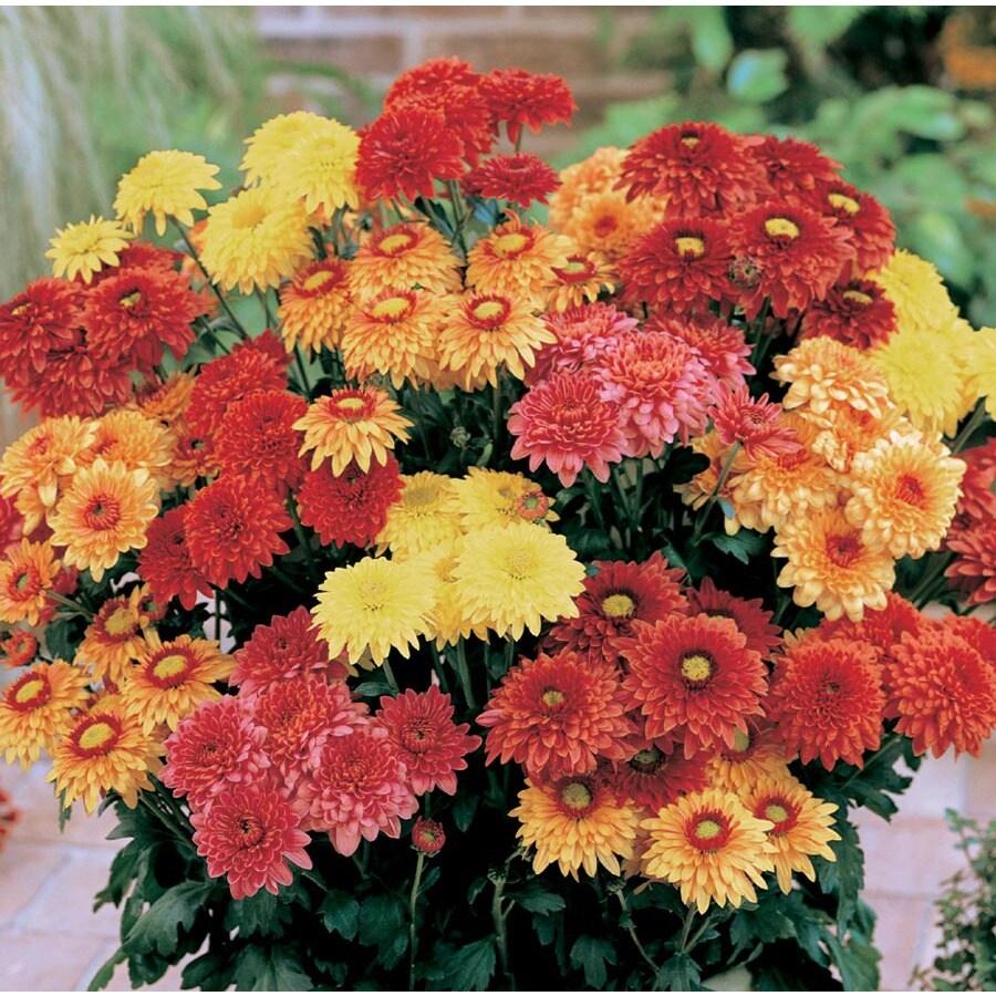 13-oz Chrysanthemum (L2746hp)