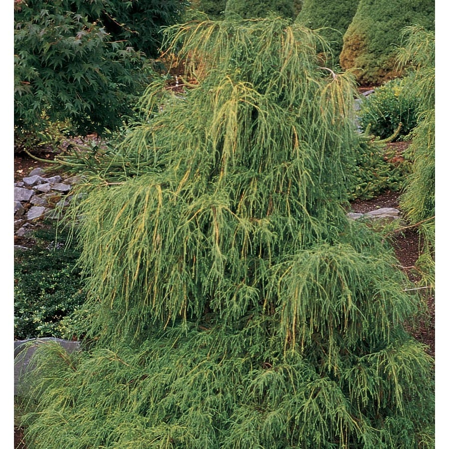 1.25-Quart Lemon Thread False Cypress Accent Shrub (LW00244)