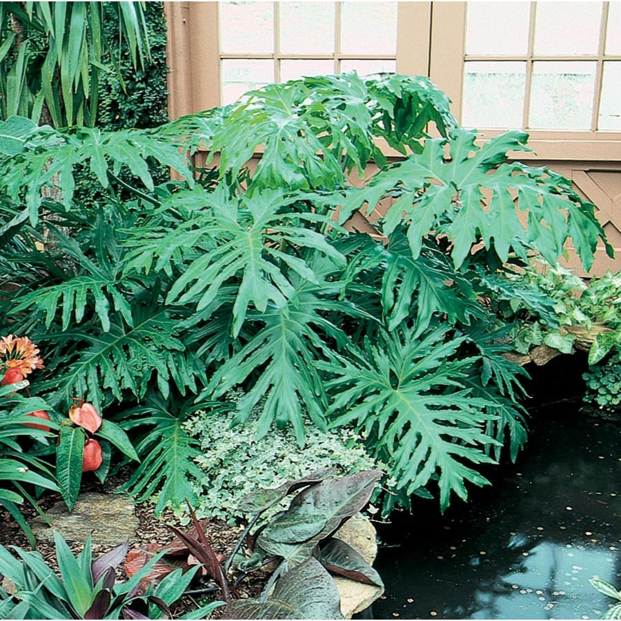 13-oz Philodendron (L3284HP)