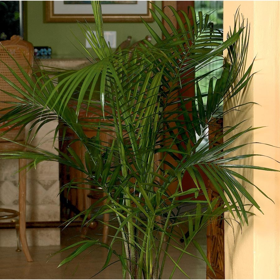 Majesty Palm L20955hp At Lowes Com