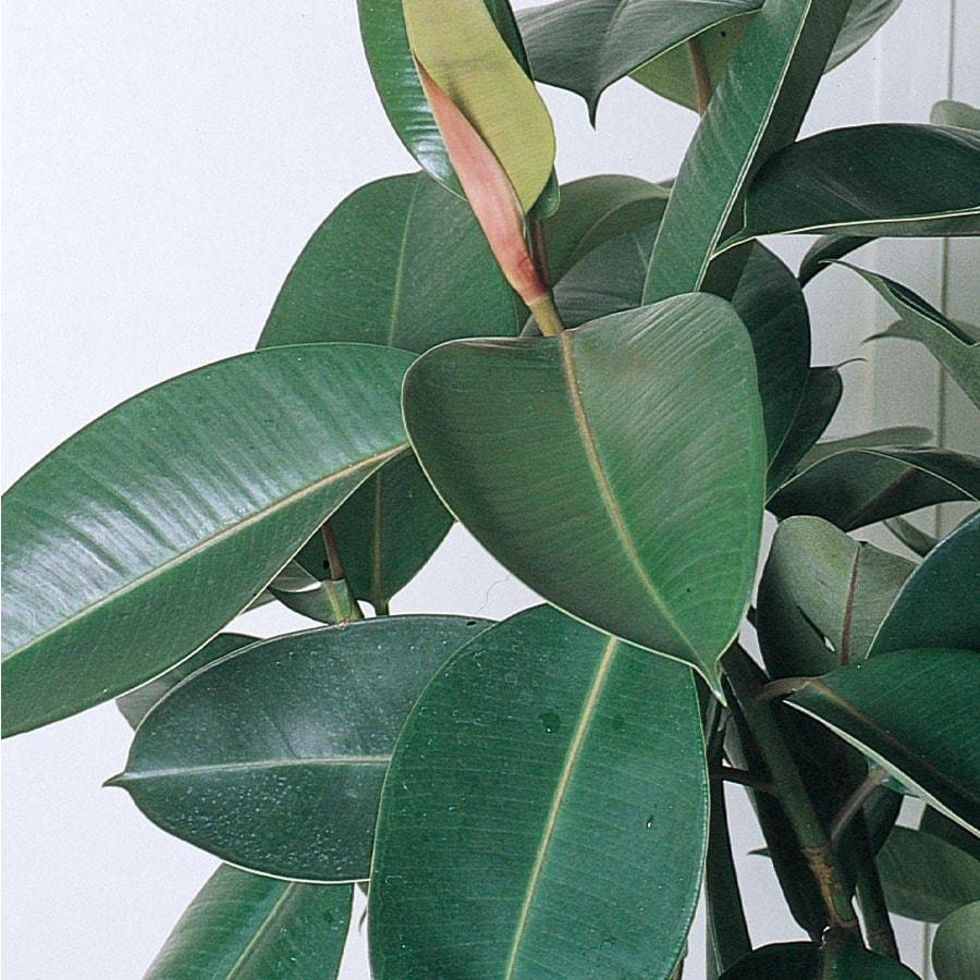 1.57-Quart Rubber Plant (L5454HP)