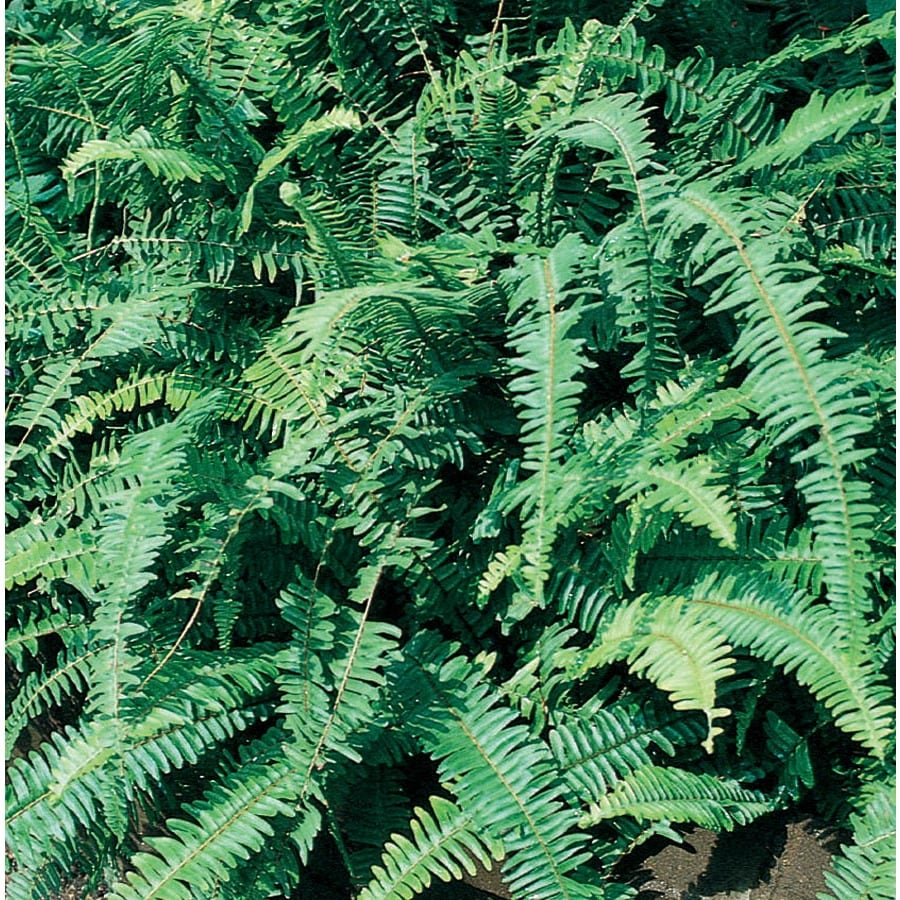 1.01-Gallon Kimberly Queen® Fern (Ltl0052)
