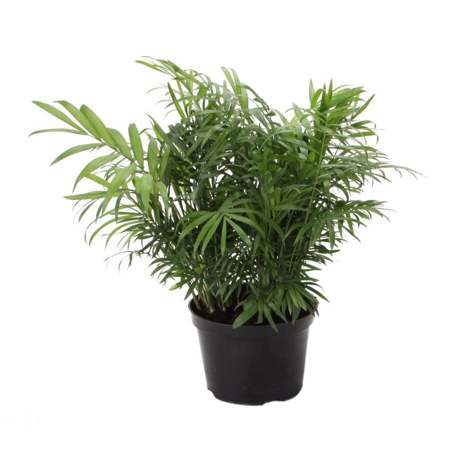 1.57-Quart Neanthe Bella Palm (L9791HP)