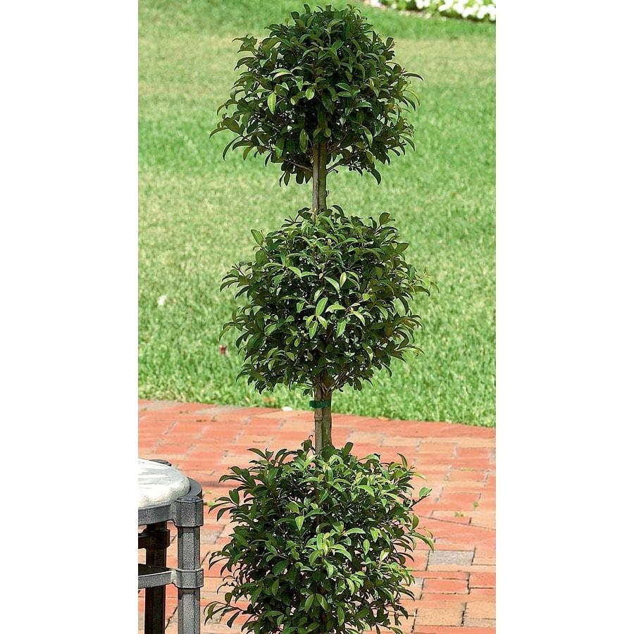 1.75-Quart Eugenia Topiary (L20938hp)