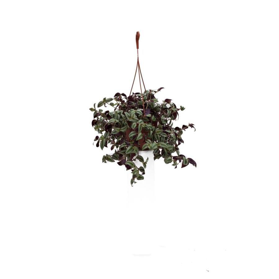 1.25-Quart Hanging Basket Wandering Jew (L01293)