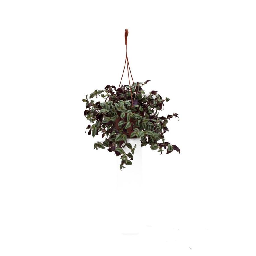 3-Quart Hanging Basket Wandering Jew (L01293)