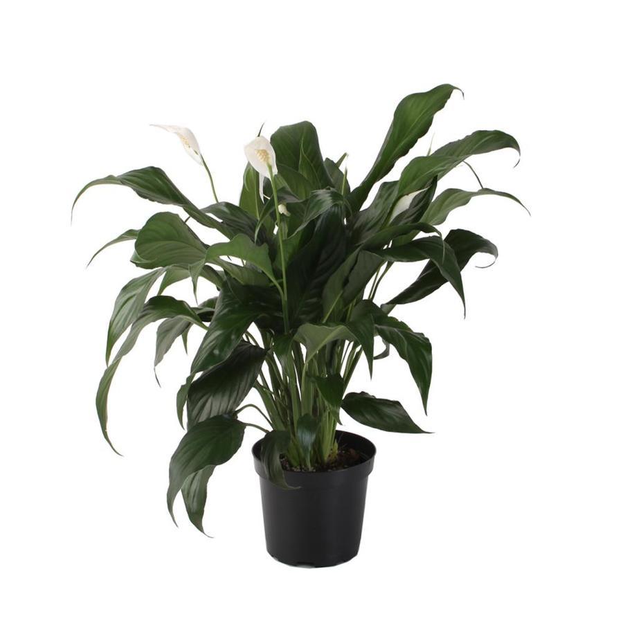 1.14-Gallon Peace Lily (L20977hp)