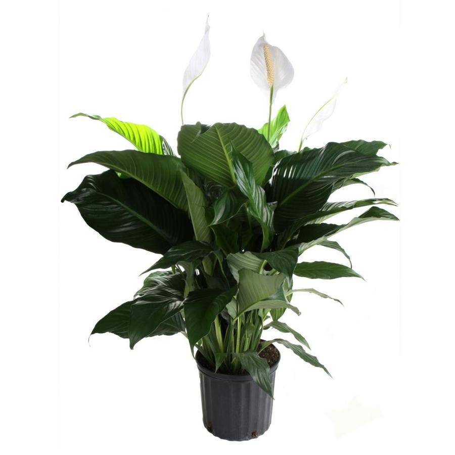 Peace Lily (L2977HP)
