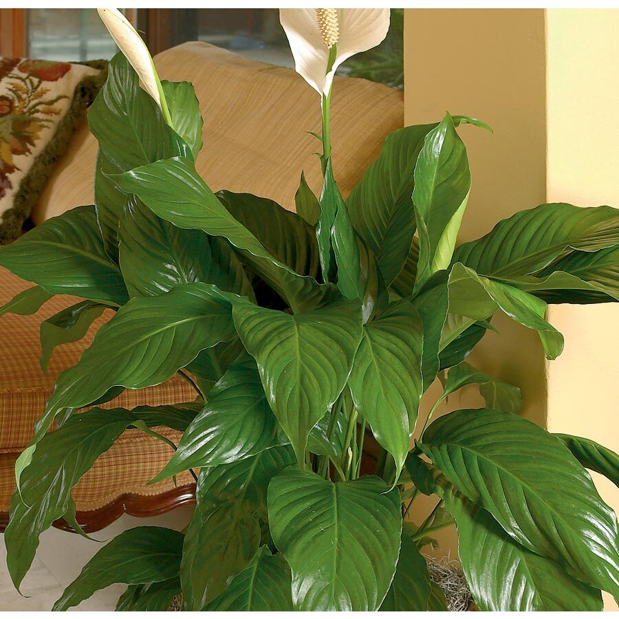 6.5-Gallon Peace Lily (L20977HP)