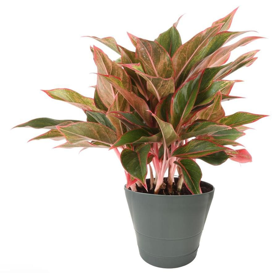 1.25-Quart Chinese Evergreen (L20910hp)
