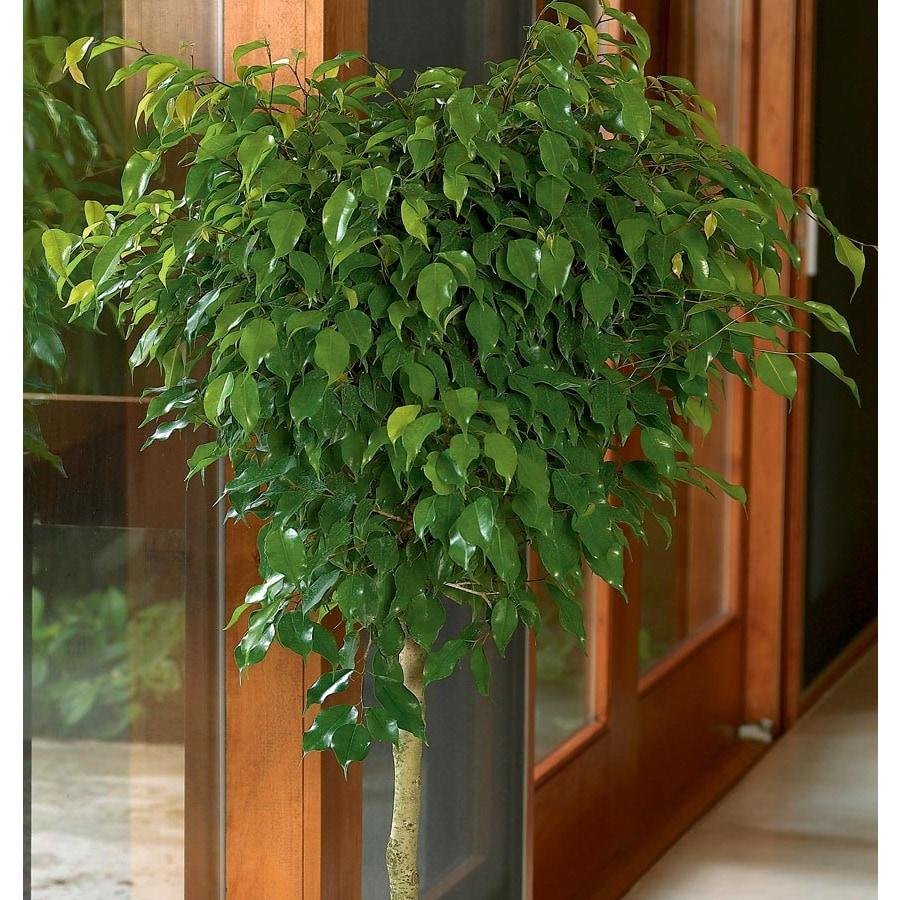 6.5-Gallon Benjamina Ficus (L20941HP)