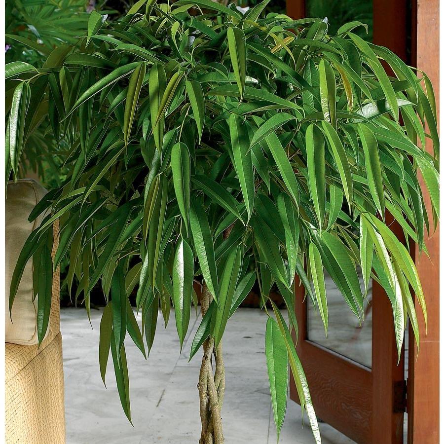 3.75-Gallon Alii Ficus (L20940HP)