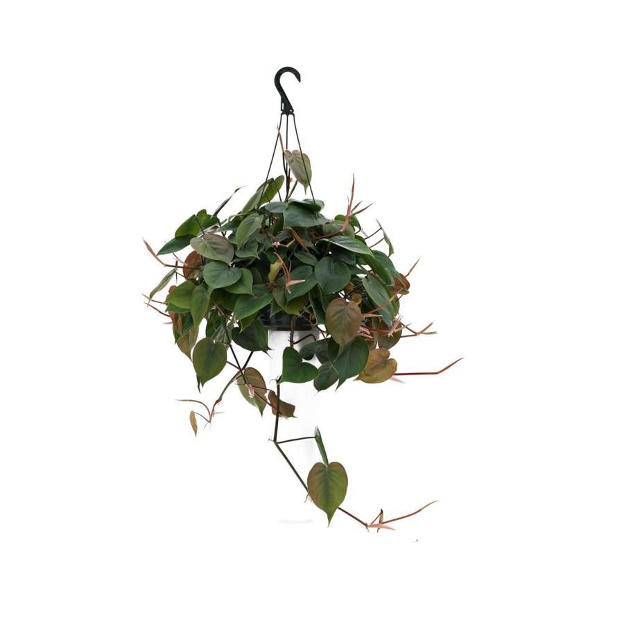 1.25-Quart Foliage Hanging Basket