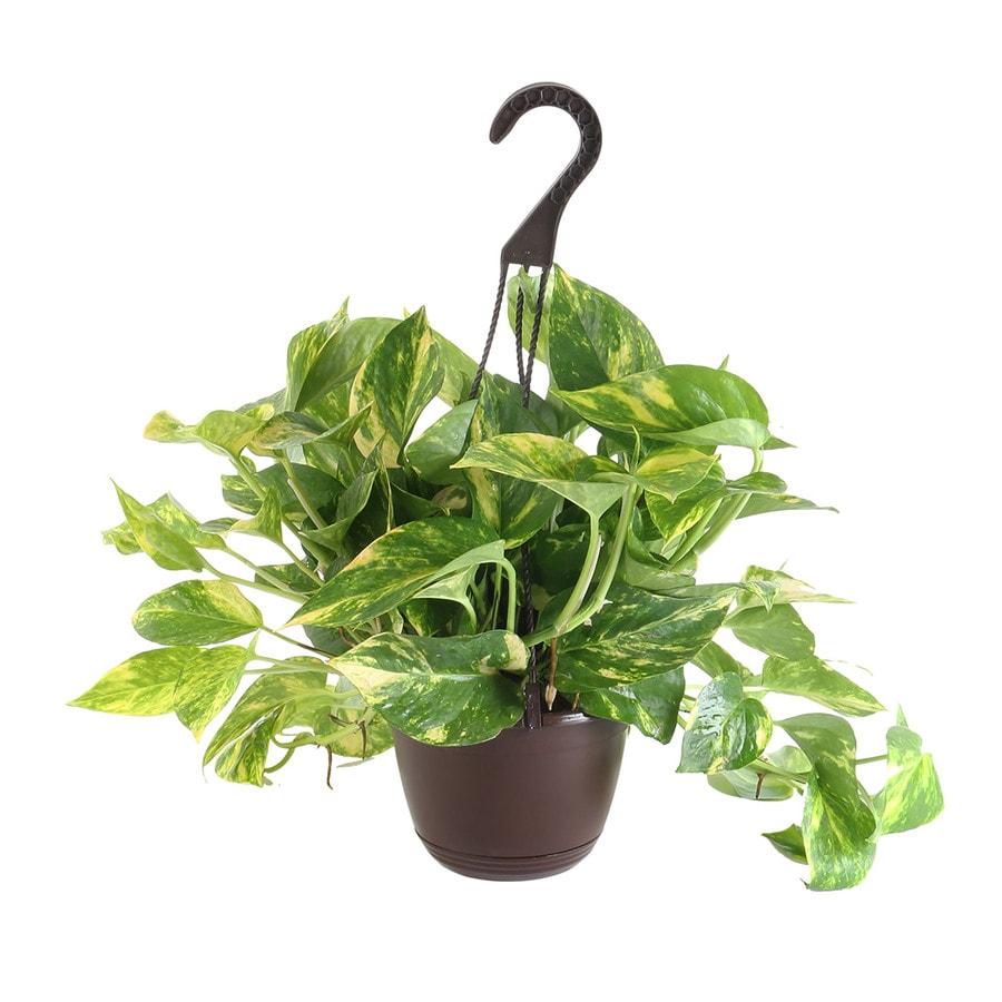 3-Quart Foliage Hanging Basket