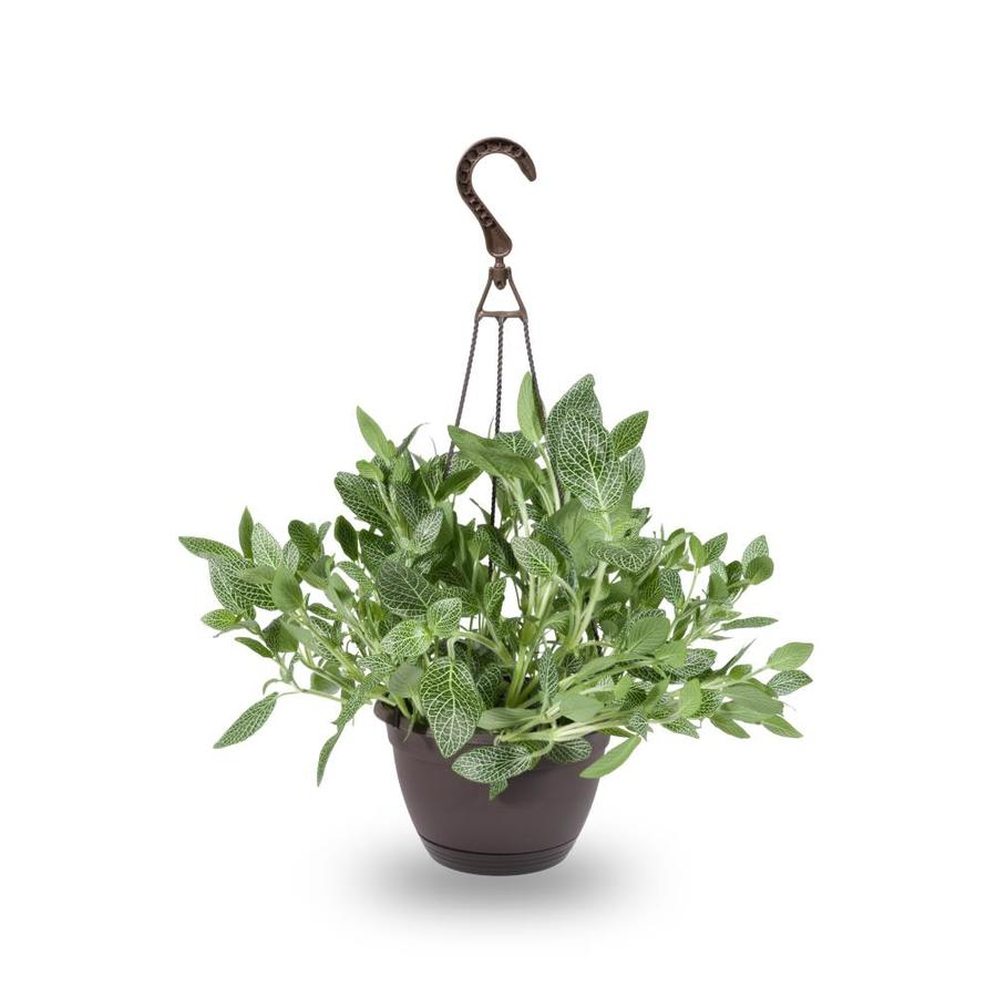 1.25-Quart Fittonia (L9405HP)