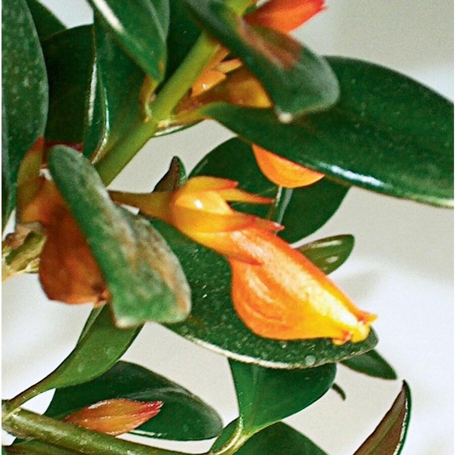 3-Quart Goldfish Plant (Ltl0076)