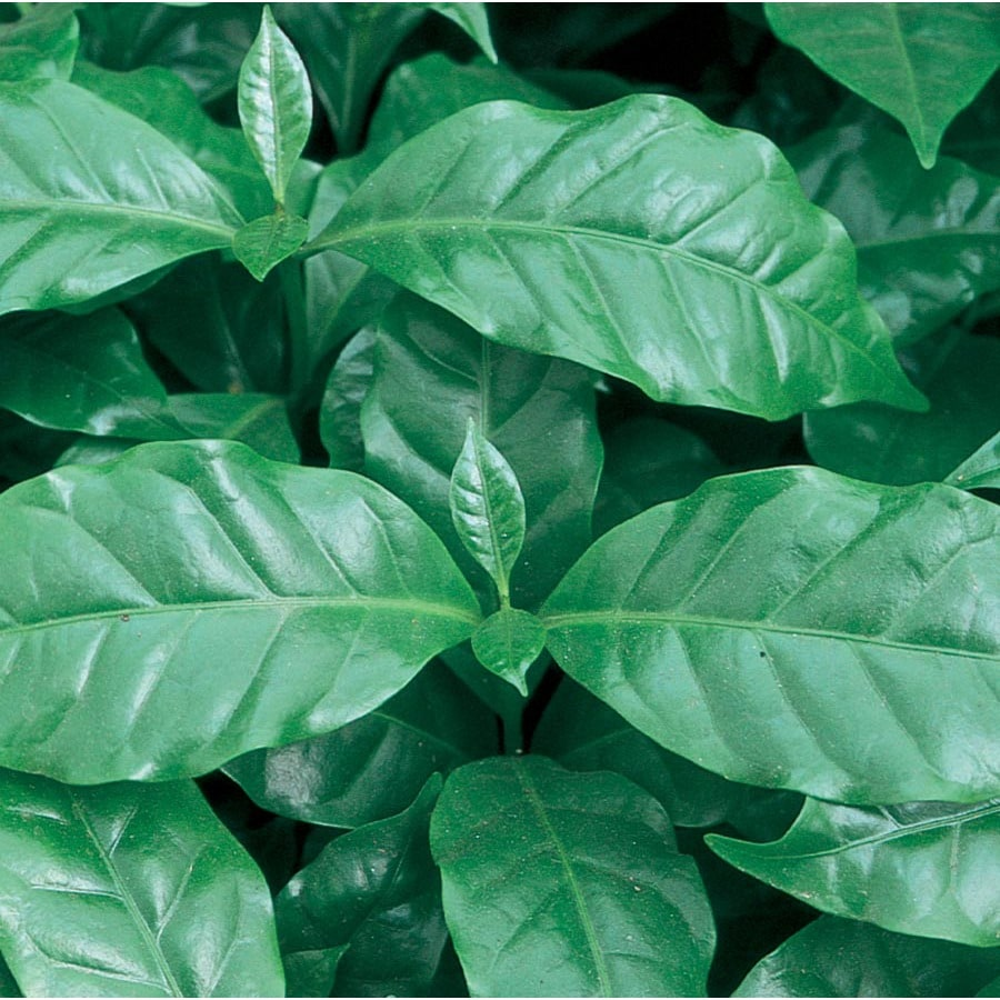 13-oz Coffee Plant (Lw00479HP)