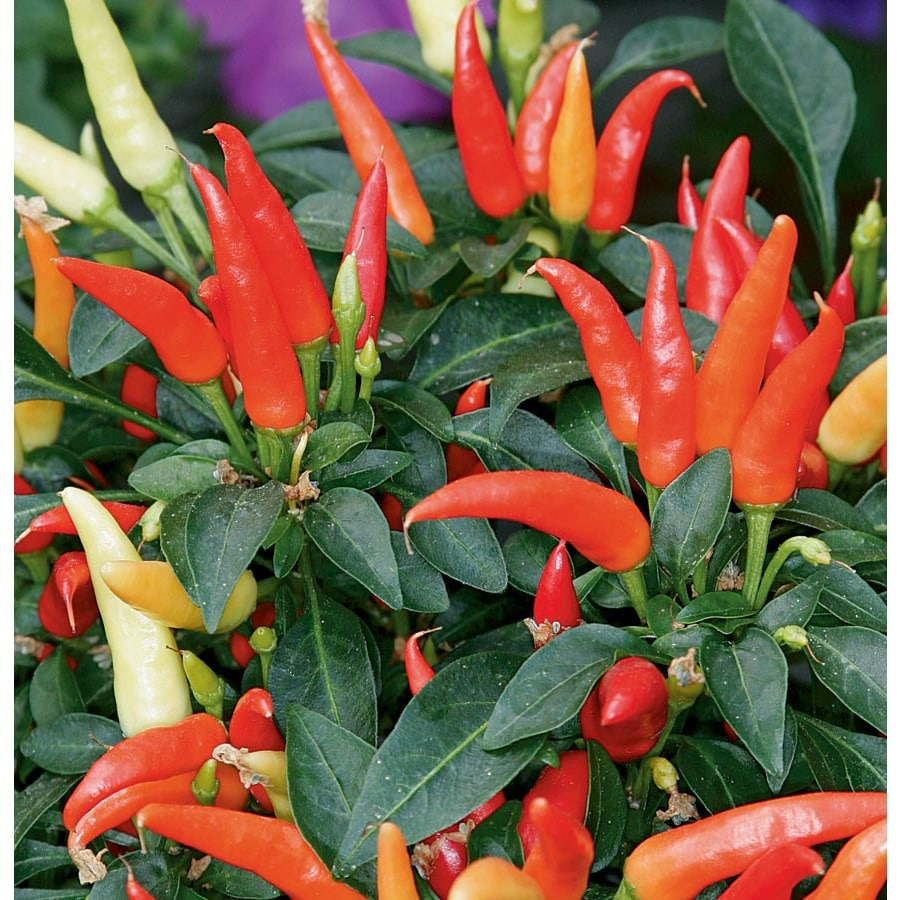 13-oz Ornamental Pepper (L9728)