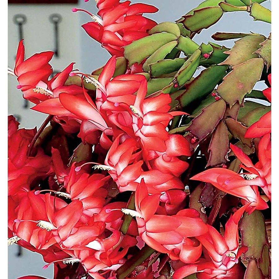 Christmas Cactus (L226HP)