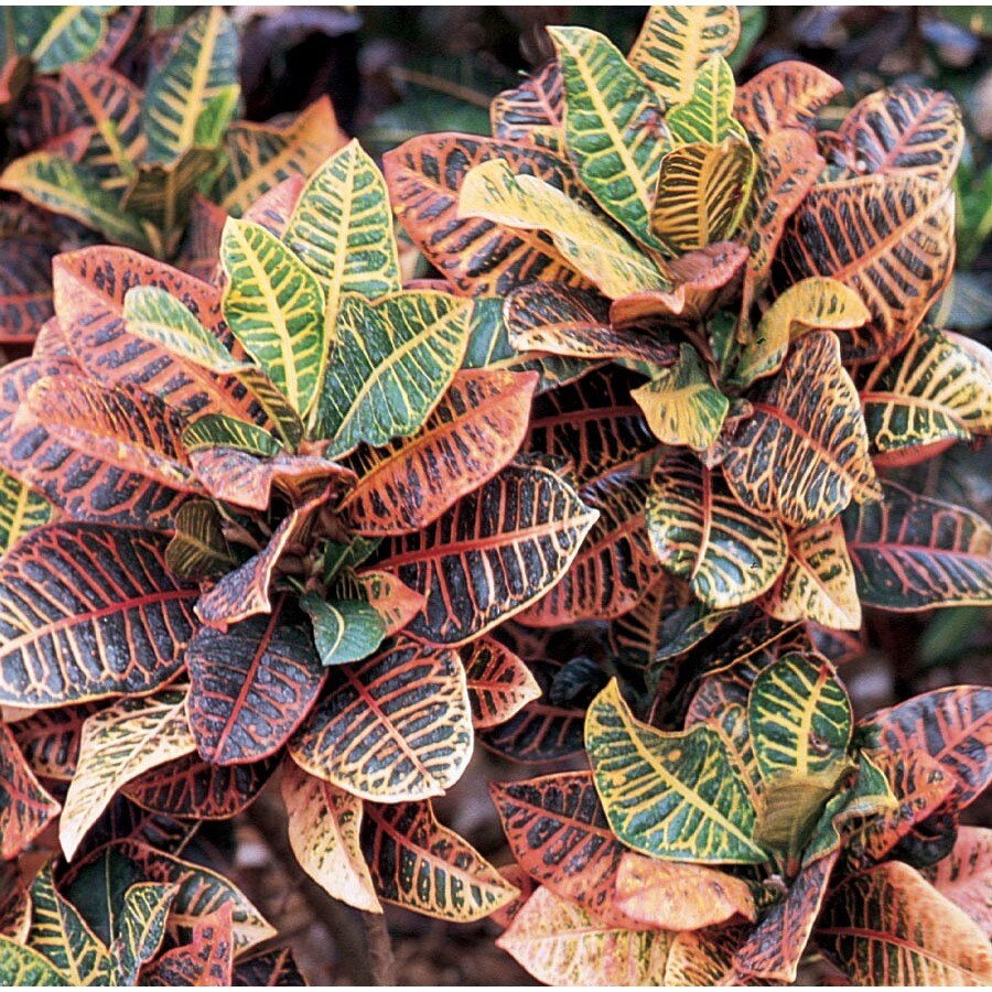 1.01-Gallon Croton (L5448)