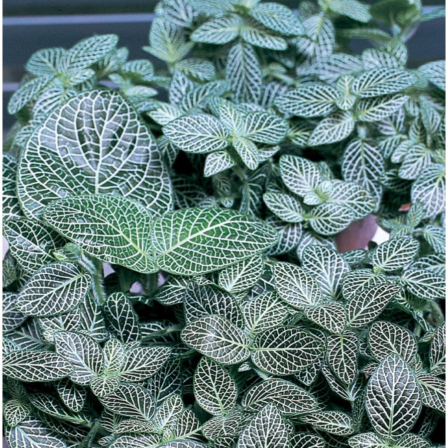 3-Quart Fittonia (L9405HP)