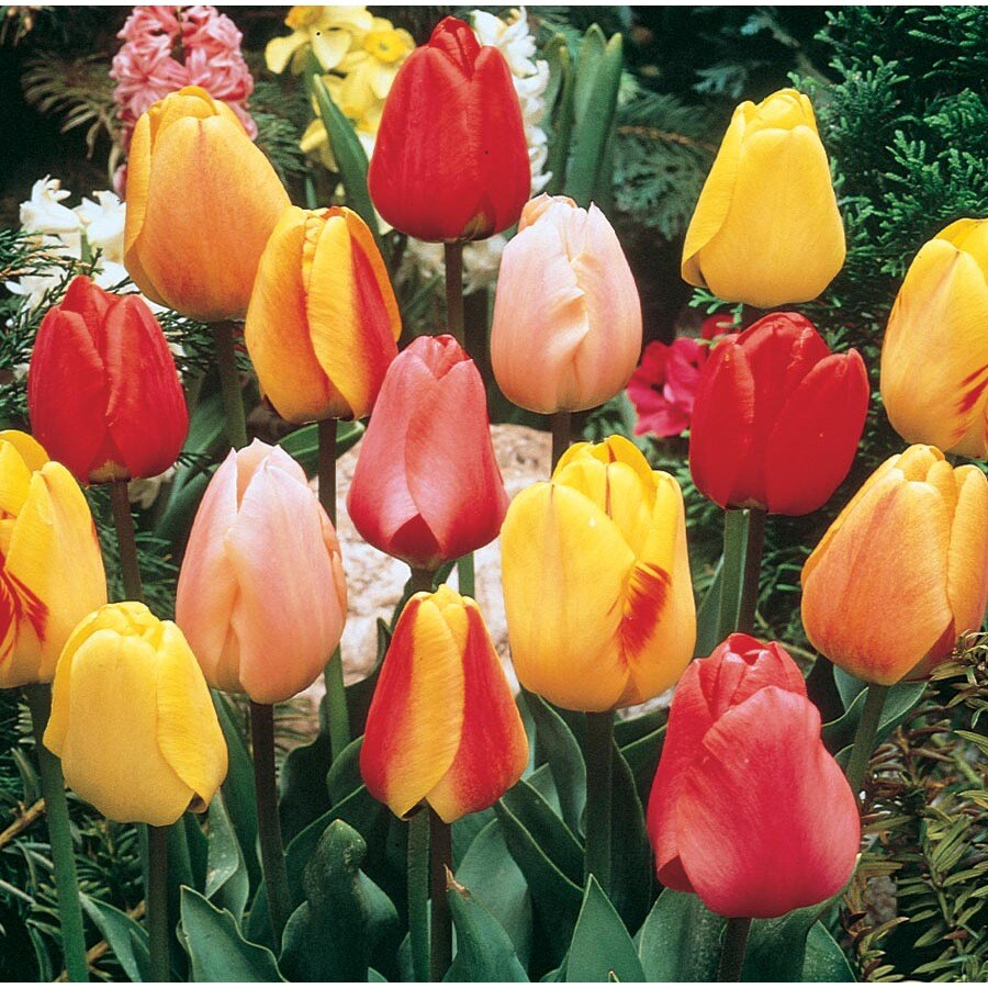 1.25-Quart Tulip Bulbs