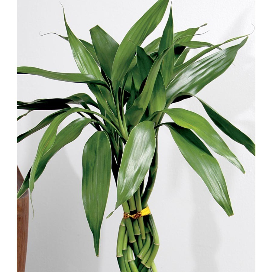16-in Lucky Bamboo (L20953hp)