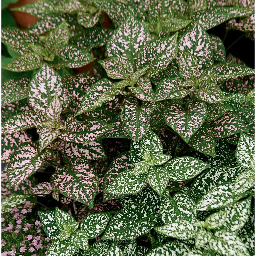 13-oz Temporary Polka Dot Plant (L17149)