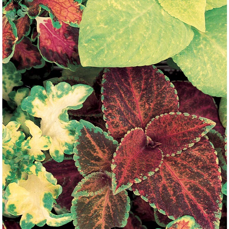 1.57-Quart Temporary Coleus (L2567)