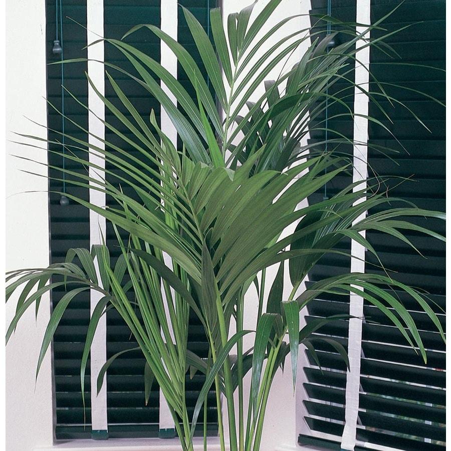 Kentia Palm (L948HP)