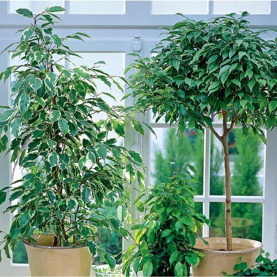 1.57-Quart Ficus (L20939HP)