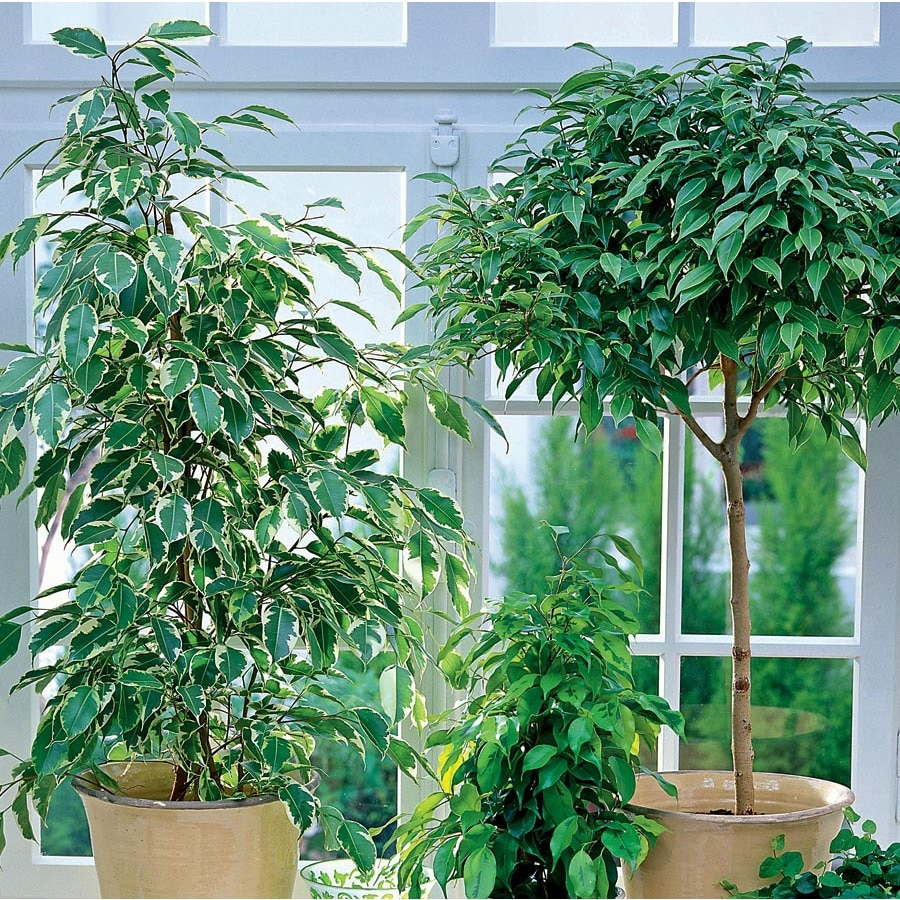 Ficus L20939hp At Lowes Com