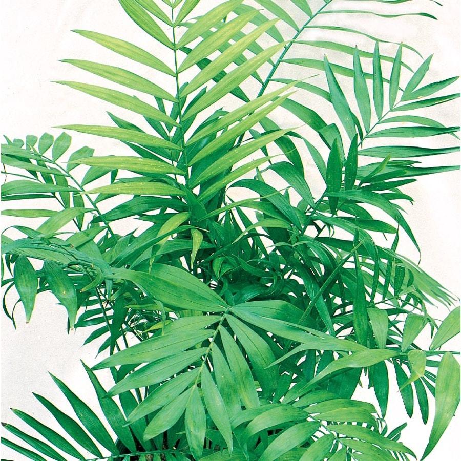 1.01-Gallon Neanthe Bella Palm (L9791HP)