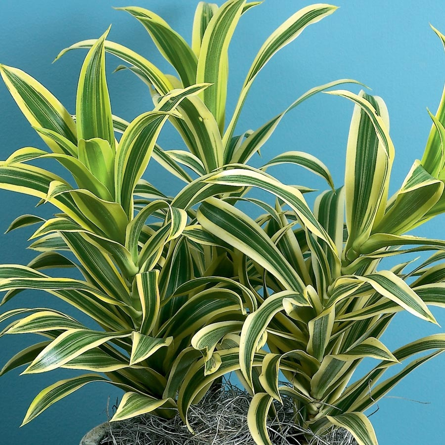 1.01-Gallon Song Of India Dracaena (L20975HP)