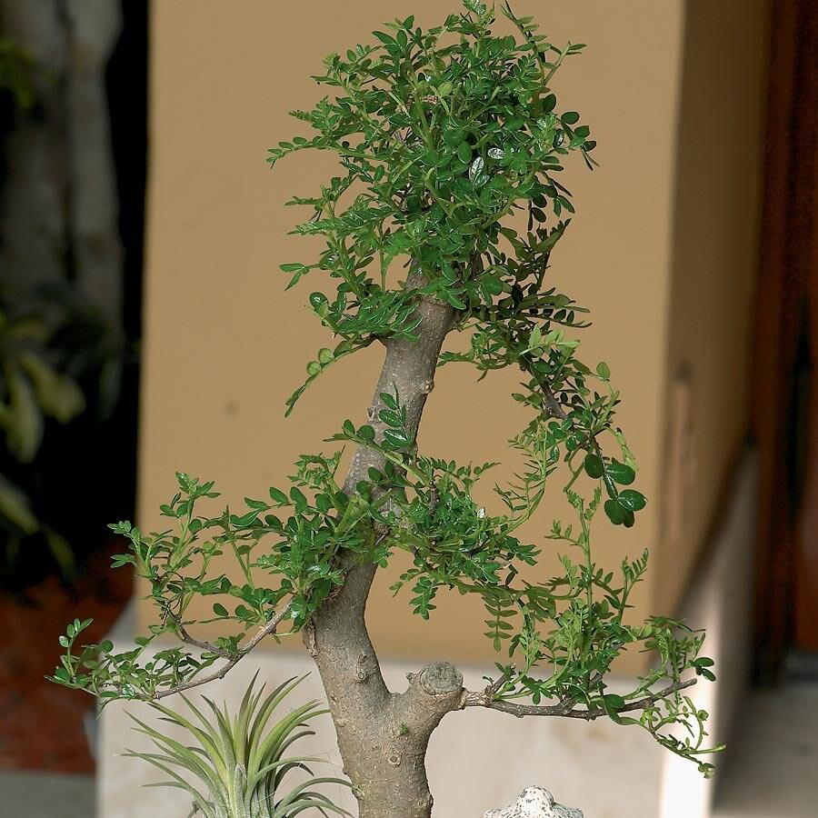 13-oz Bonsai (L20919HP)