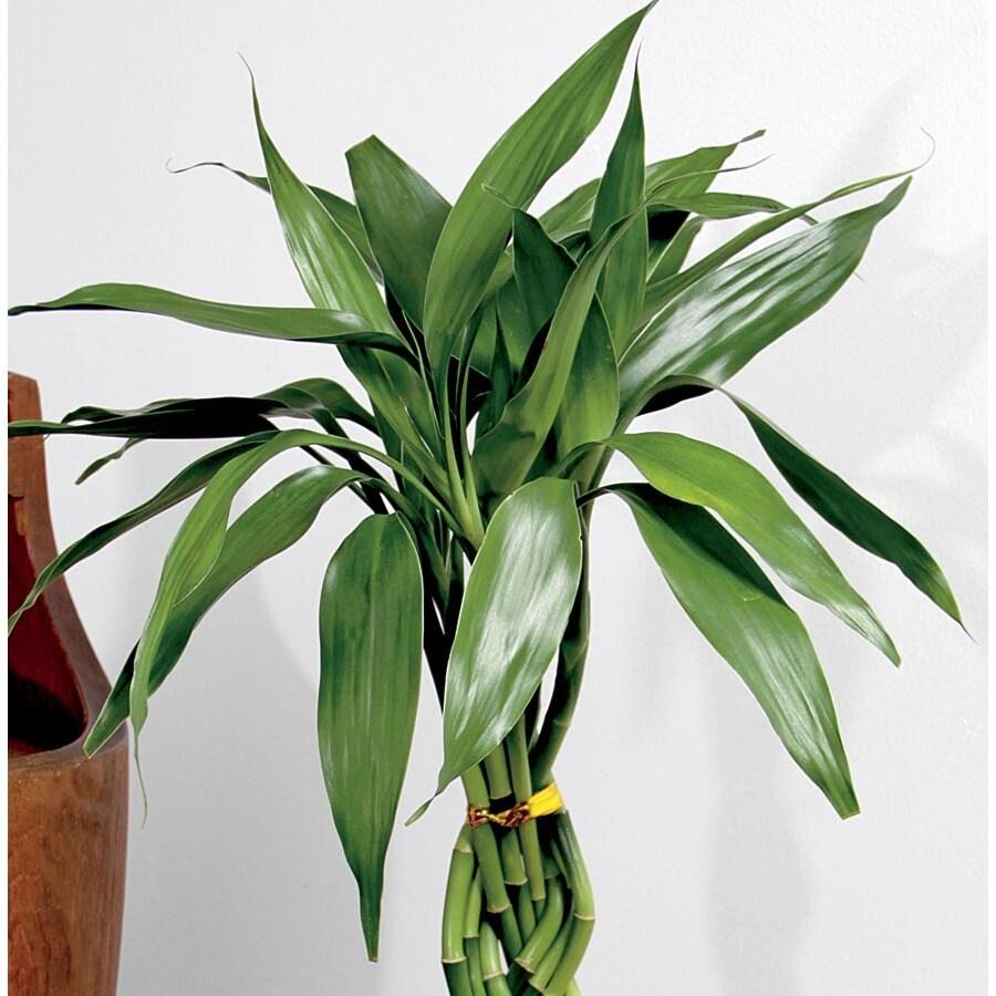 13-oz Lucky Bamboo (L20953HP)