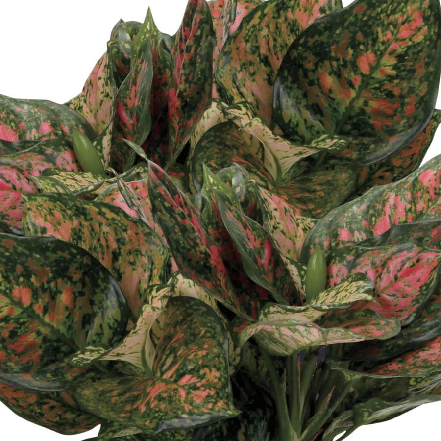 1.4-Quart Red Aglaonema (L23615HP)