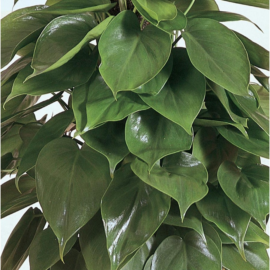 1.57-Quart Sweetheart Philodendron (L3333HP)