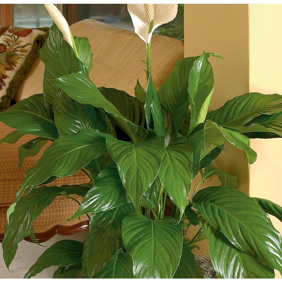 3.75-Gallon Peace Lily (L20977HP)