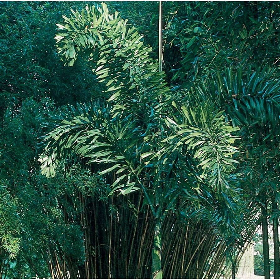 6.5-Gallon Foxtail Palm (L14531)