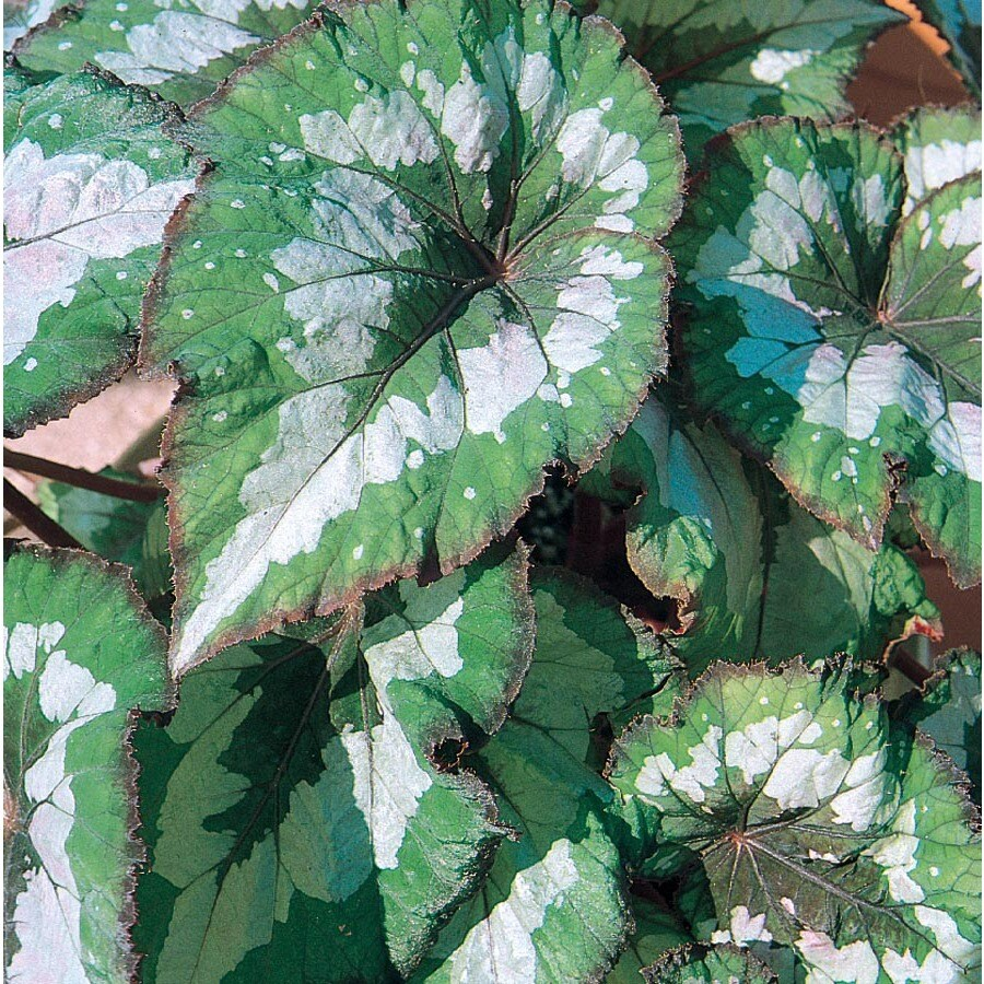 1.57-Quart Temporary Rex Begonia (L9386)