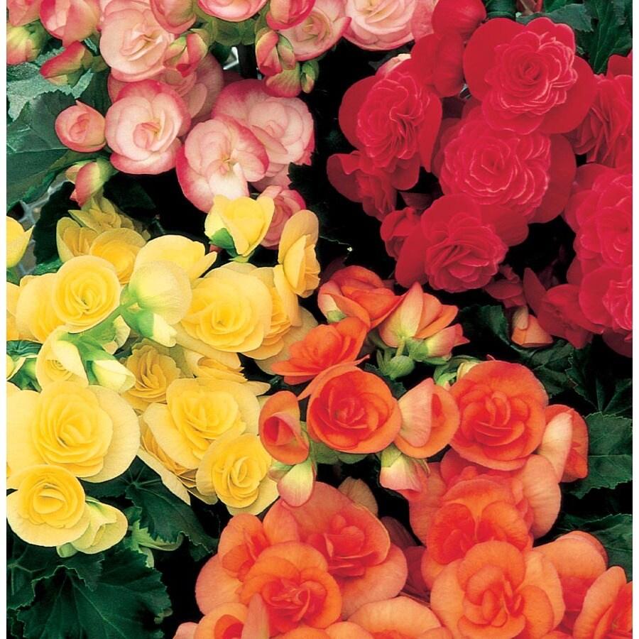 1.25-Quart Rieger Begonia (L9387)
