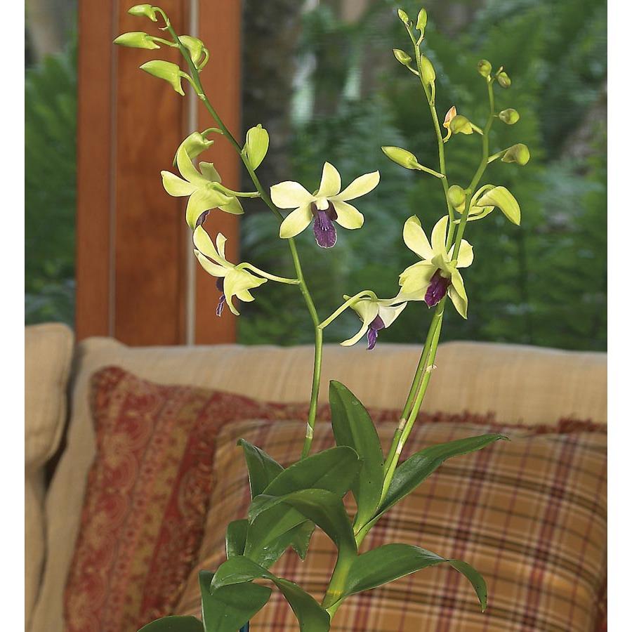 1.75-Quart Dendrobium Orchid (L20934hp)