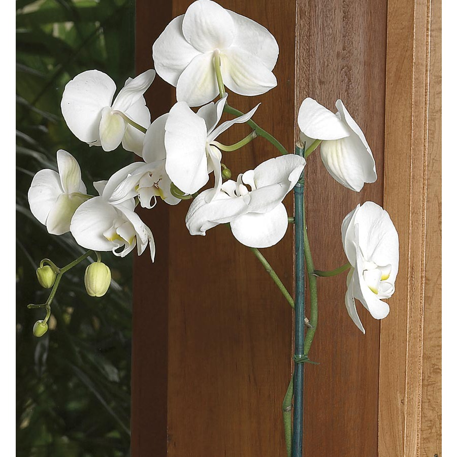 Shop 2-ft Phalaenopsis Orchid in Pot (L2963hp) at Lowes.com