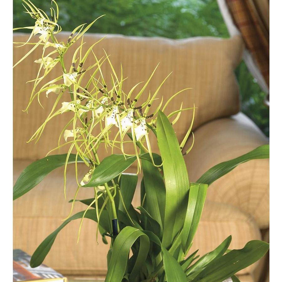 1.25-Quart Oncidium Orchid (L20961HP)