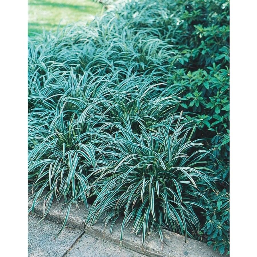 1-Quart Variegated Mondo Grass Pot (L3610)