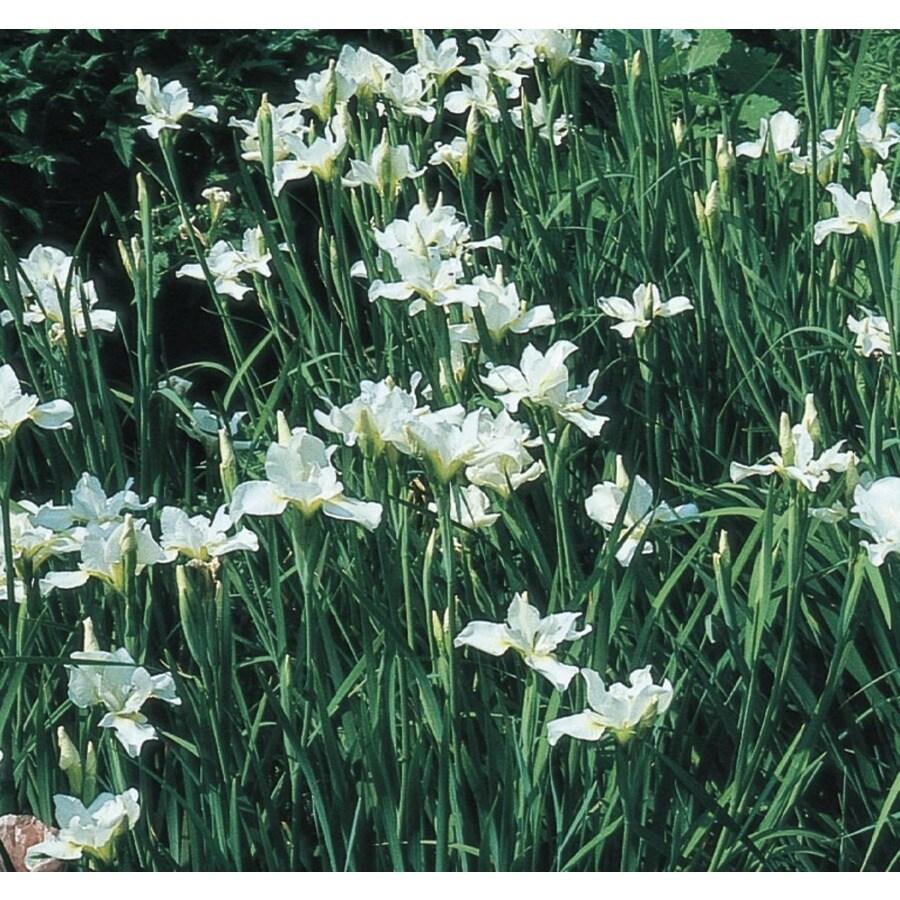 2.5-Quart Louisiana Iris (L15958)