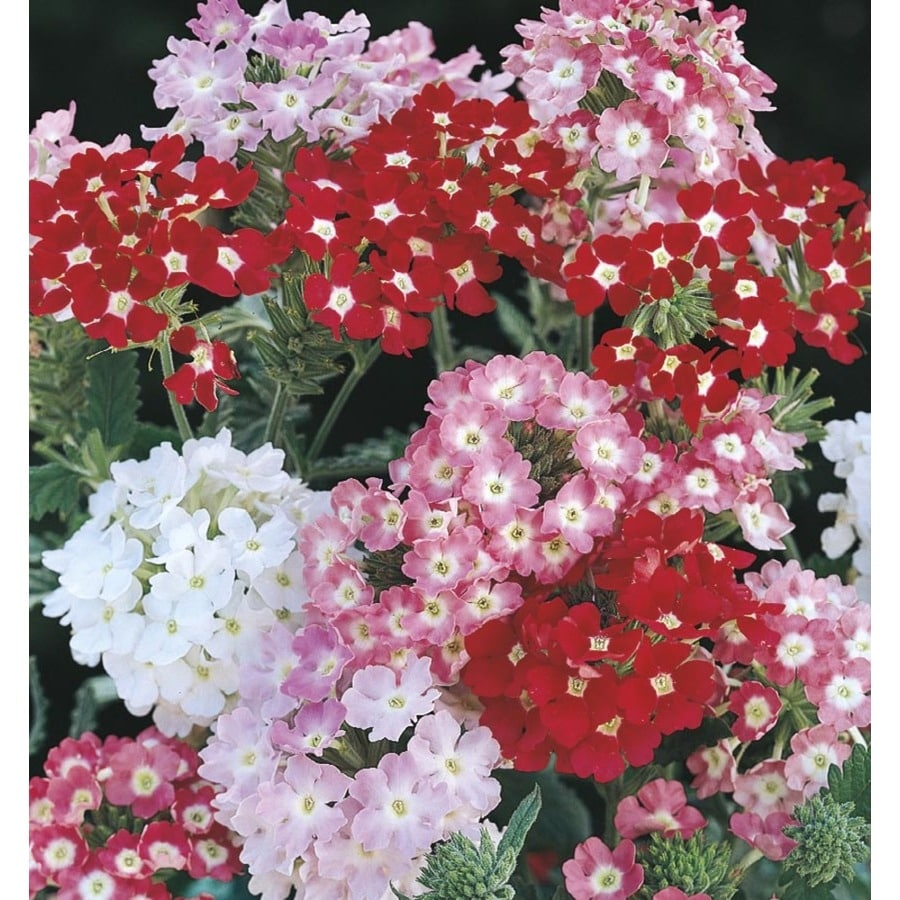 1-Gallon Verbena (L14428)
