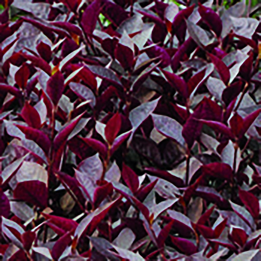 Monrovia 1-Gallon Alternanthera (L17136)