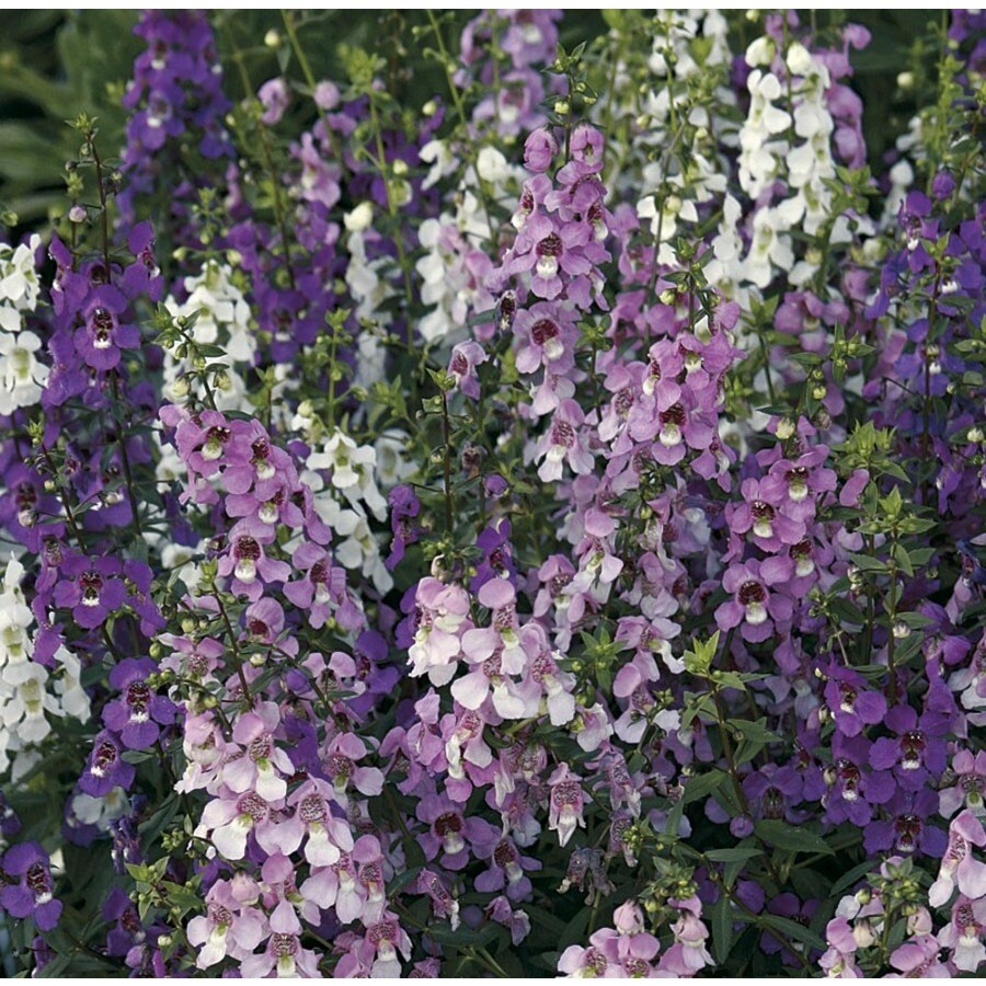Monrovia 1-Gallon Angelonia (L0098)